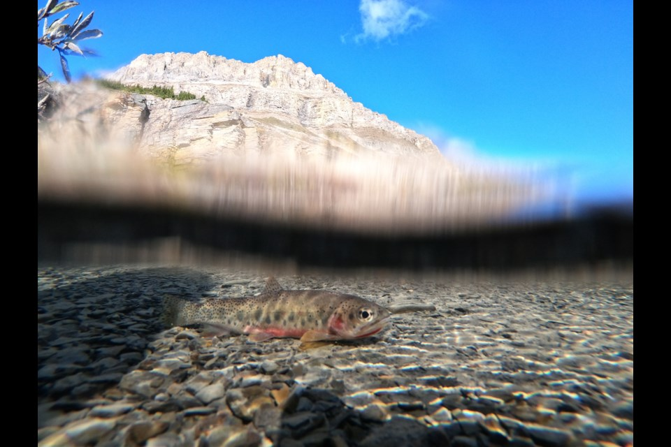 West-slope cutthroat trout are threatened in Alberta. In Banff National Park, some of the main challenges for this fish are competition with non-native brook trout and hybridization with non-native rainbow trout or Yellowstone cutthroat trout. PARKS CANADA PHOTO