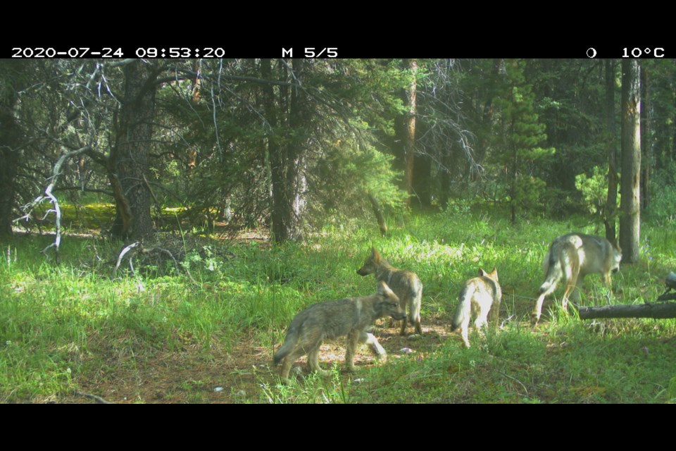 Three wolf pups in Banff National Park. PARKS CANADA PHOTO