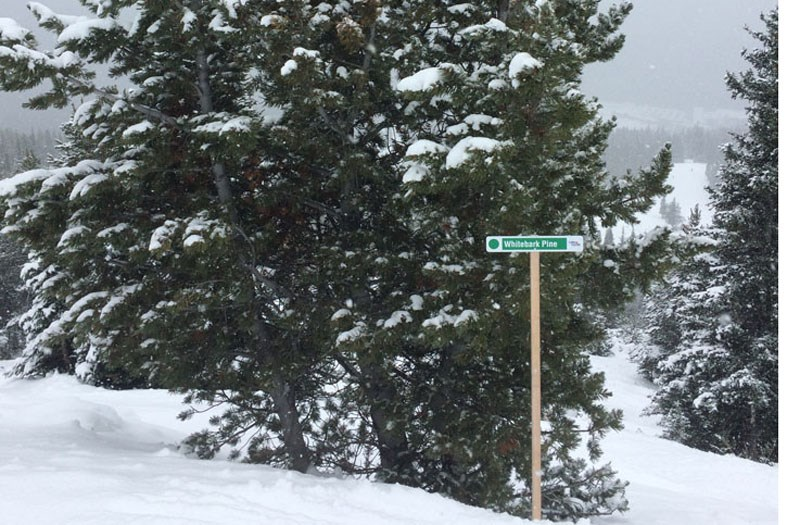 An example of one of the interpretive signs placed by the Lake Louise Ski Area next to endangered whitebark pine trees. RMO FILE PHOTO