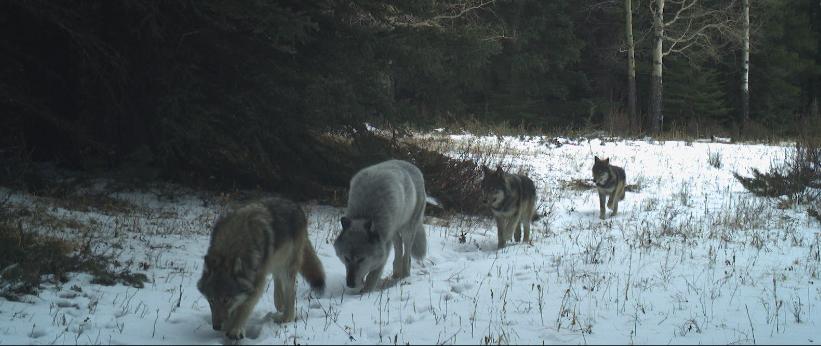 wolf 1901