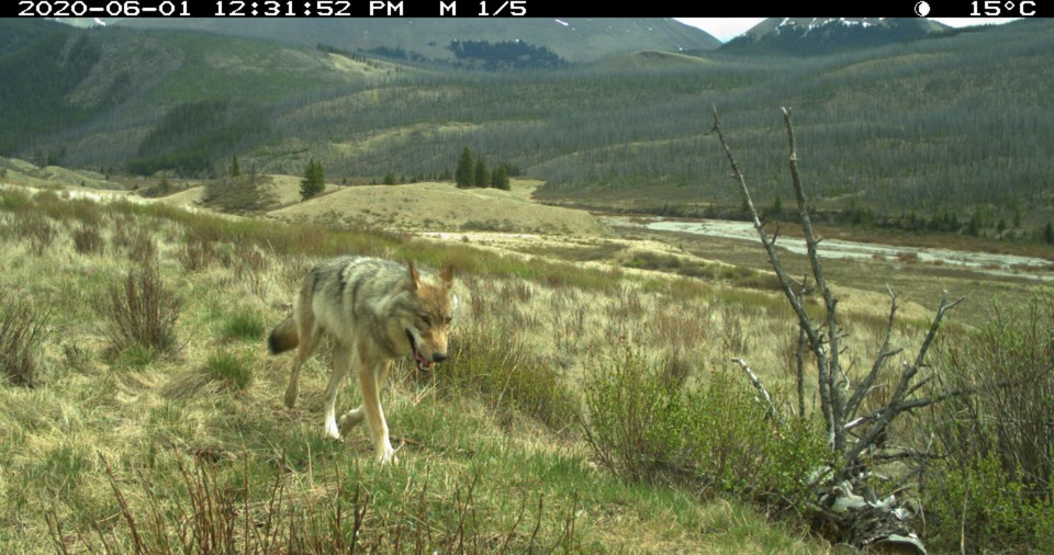 Wolf in BNP, Photo Credit - Parks Canada