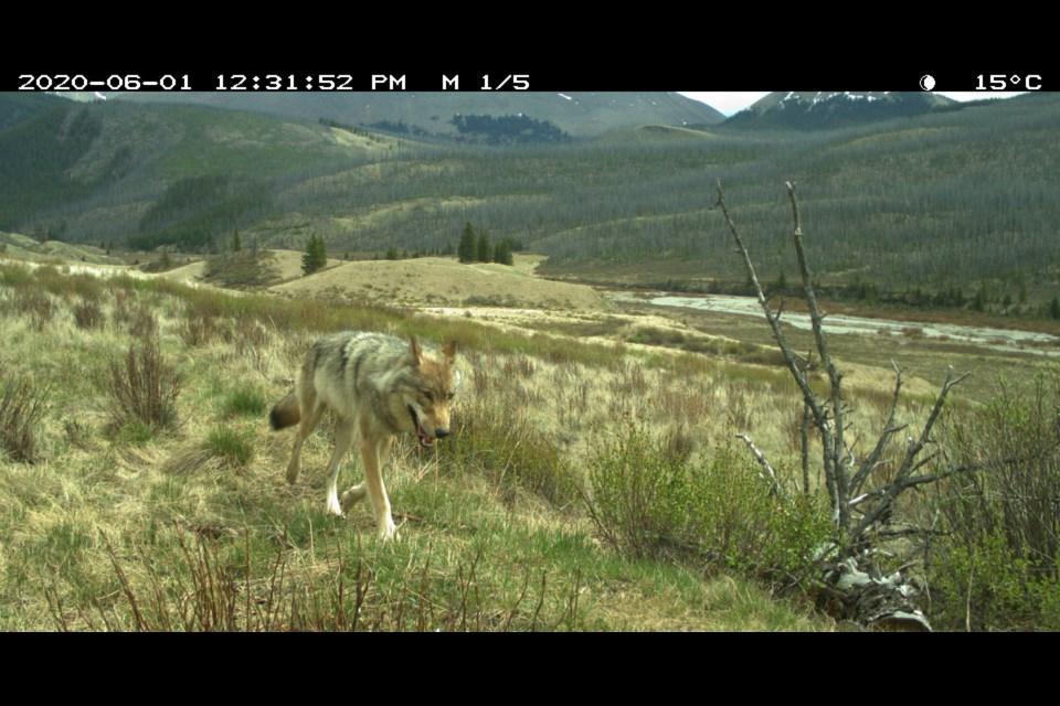 A wolf travels through Banff National Park. PARKS CANADA PHOTO