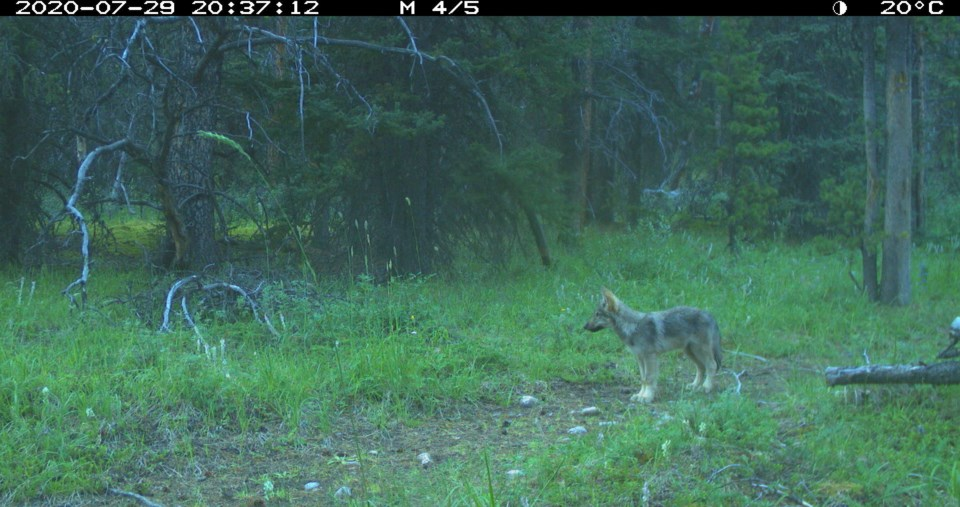 Wolf Pup in BNP, Photo Credit - Parks Canada