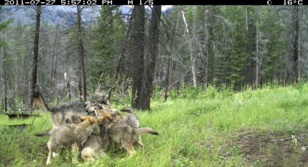 wolf-pups-fairholme-BNP