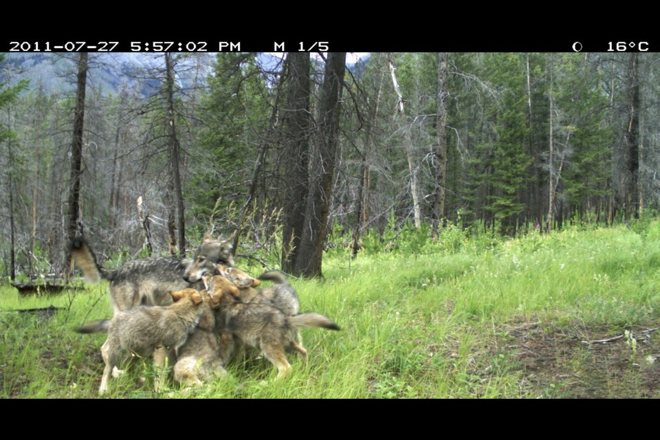 Wolf pups playing are captured on a wildlife camera in Banff National Park in January. Parks Canada has no information on this pack. PARKS CANADA FILE PHOTO
