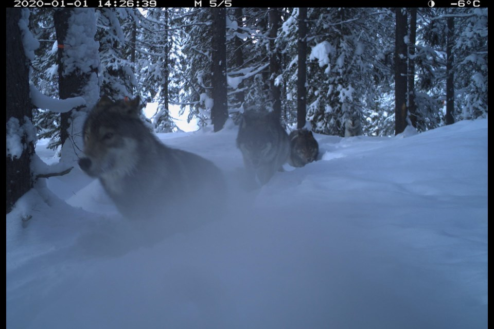 A remote camera captured images of some unknown wolves in the Lake Louise area.  Photo credit - Parks Canada