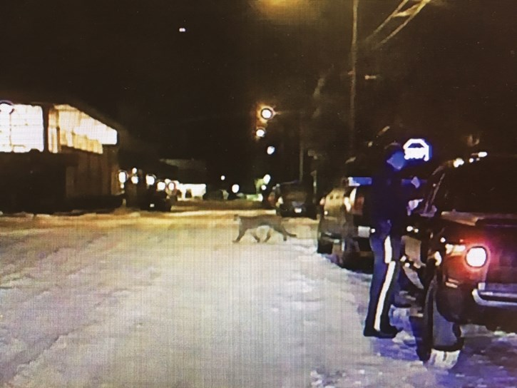 A still photo taken from video of a cougar in downtown Banff near the IGA on Marten Street.