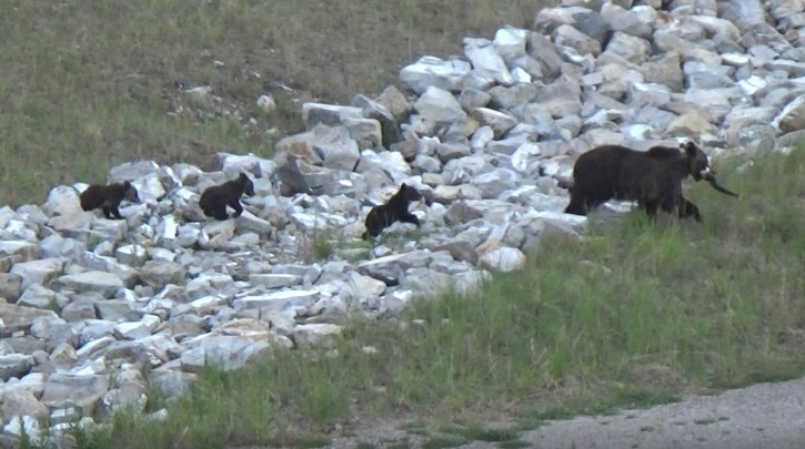 Bear 104 and her cubs.