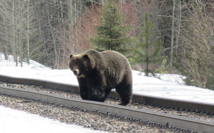 In previous years, Banff's well-known bear the Boss, pictured here in 2017, has been one of the first male grizzly bears to emerge from his den in the spring.