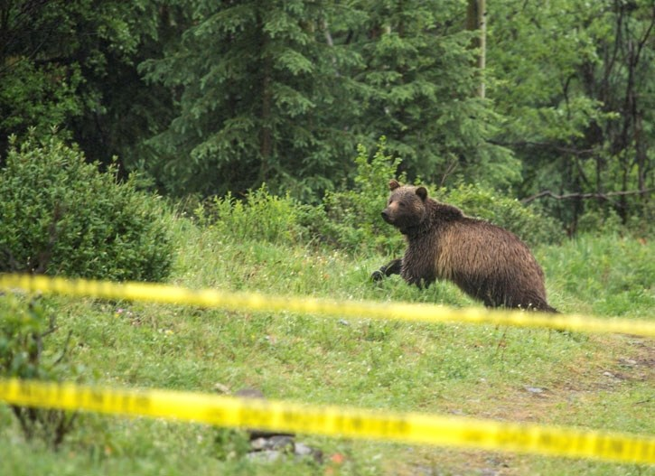 Bear 152 passes by a closed off area near Highway 40 in Kananaskis in 2016. Adverse conditioning is used to keep bears in K-Country away from humans.