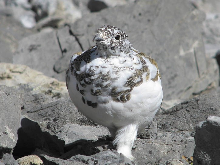 A white-tailed ptarmigan.