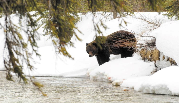 A large male grizzly is seen taking a drink from the Bow River near Castle Junction, April 1.