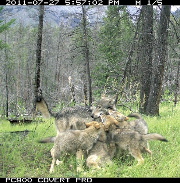 A remote camera captured this image of a wolf and her pups on the Fairholme benchlands in Banff National Park.