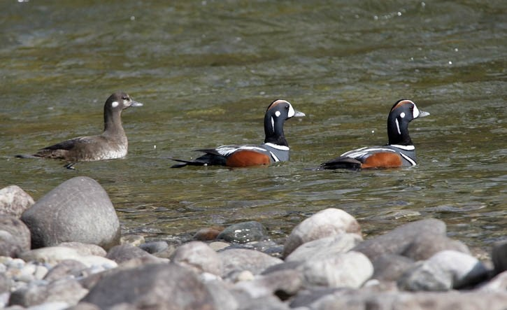 A pair of males and a female harlequin duck swim down the Bow River near Lake Louise.