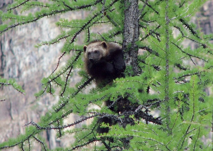 A wolverine looks out from a perch in a larch tree.
