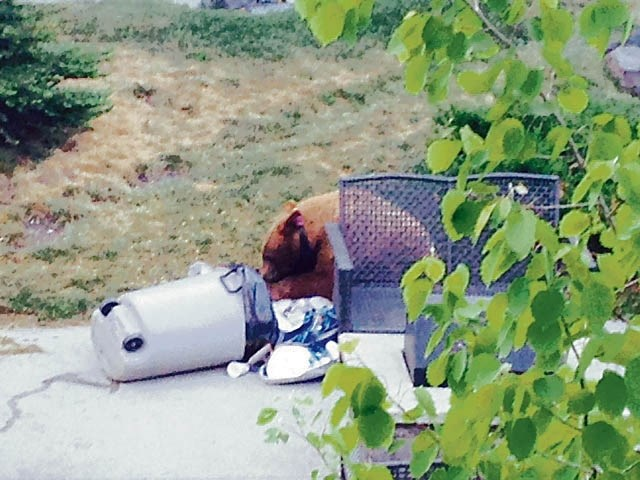 A food-conditioned black bear making the rounds in the Bow Valley has been relocated.