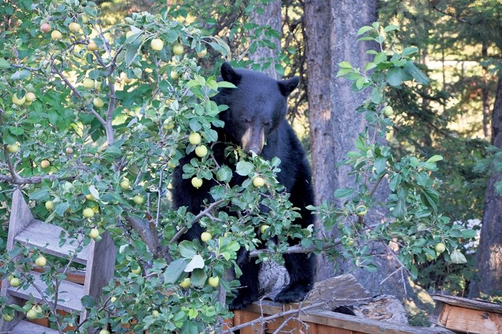 With fall approaching, bears are understandably attracted to fruit trees like these in a Canmore yard. Often, though, a fed bear means a dead bear.
