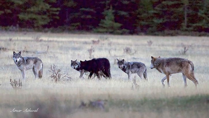 Five members of a new pack regularly seen around the Banff townsite.