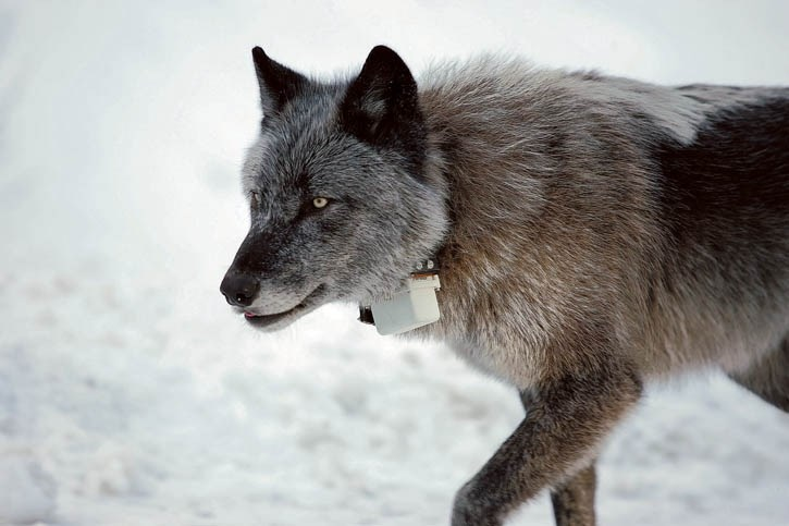 A wolf with a radio collar around its neck.