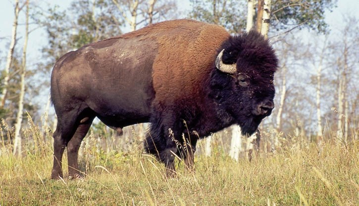 Parks Canada is on schedule to reintroduce bison to Banff National Park by 2017.