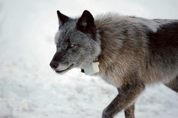 Wolf 1101 on the Bow Valley Parkway west of Banff. Wildlife managers are concerned that ongoing wolf bounties could irreparably harm pack populations in Alberta.