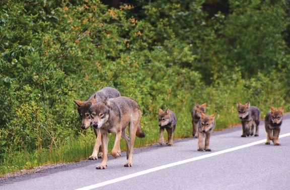 The Bow Valley wolfpack on Highway 1A in Banff in early July.