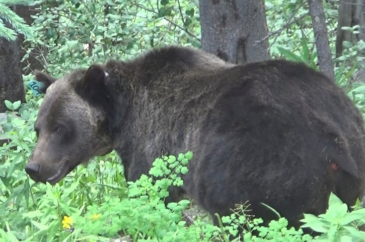Bear 104, one of the bears studied by researcher Cheryl Hojnowski, has been observed to actively avoid human interactions.