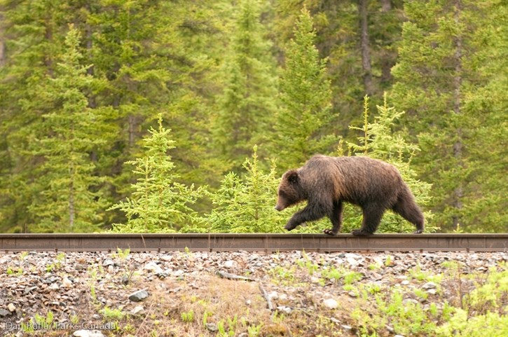 A grizzly bear travels along the CP Rail right of way in Banff National Park.