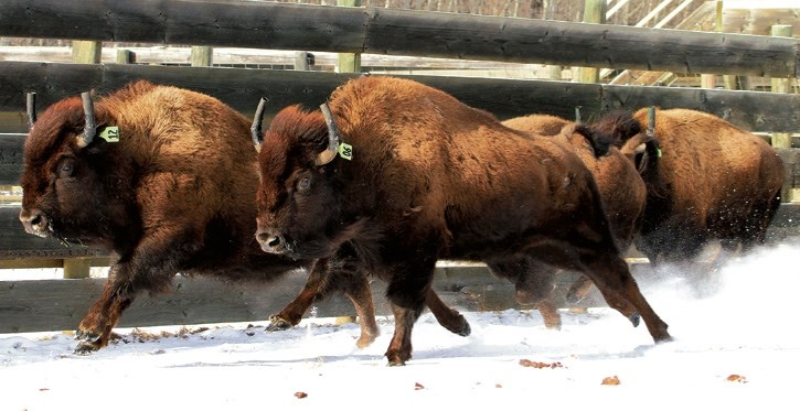 Parks Canada releases bison into Banff National Park.
