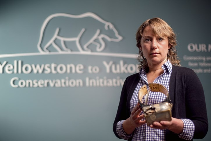 Dr. Aerin Jacob holds the bullet-ridden GPS collar of Pluie, a wolf, at the Y2Y Initiative offices in Canmore on April 21. Pluie was a wolf that went on a 1,200 kilometre
