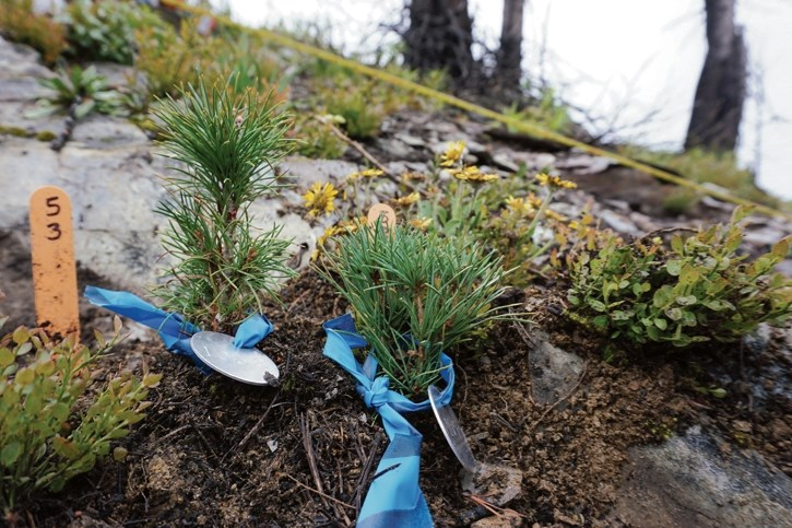 Whitebark pine seedlings being grown by Parks Canada at a nursery near Cranbrook, B.C. as part of the agency's restoration plan for the endangered species.