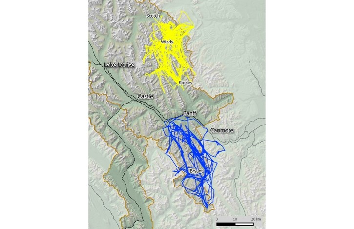 A map showing the movements of a female wolf from the Panther-Cascade pack in yellow and a male wolf from the Spray pack in blue.