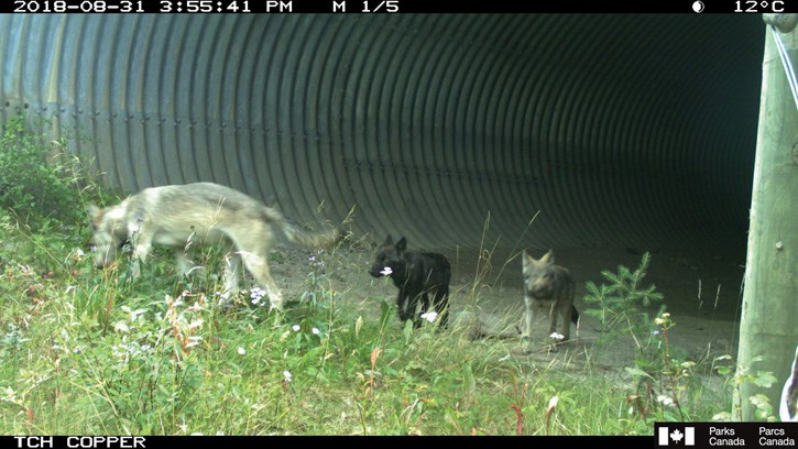 Bow Valley Wolf Pups – underpass photo 2018_web