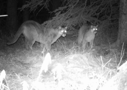 N1 cougar_parks