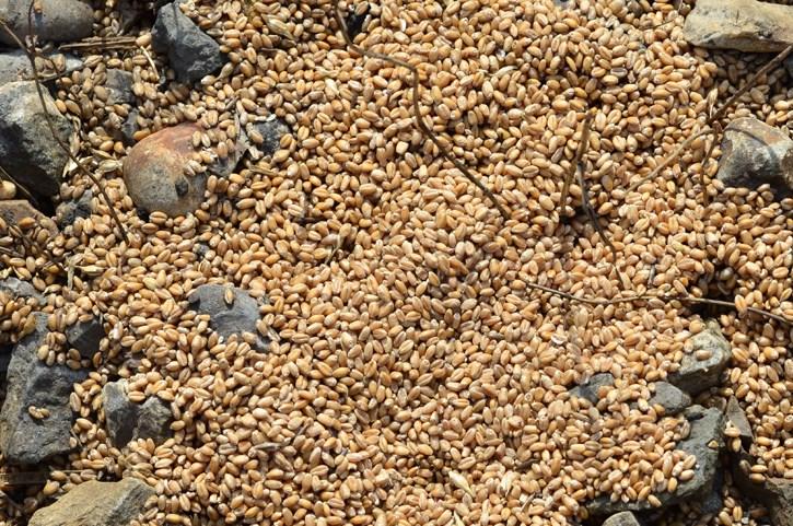 Grain pile_web
