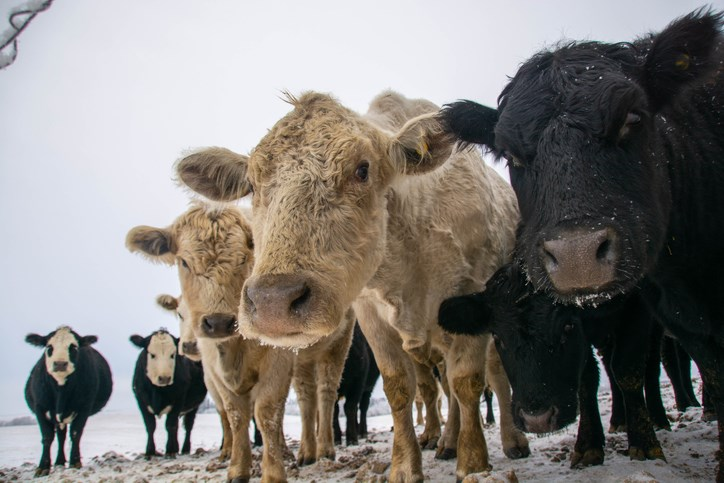cattle waiting to be fed winter