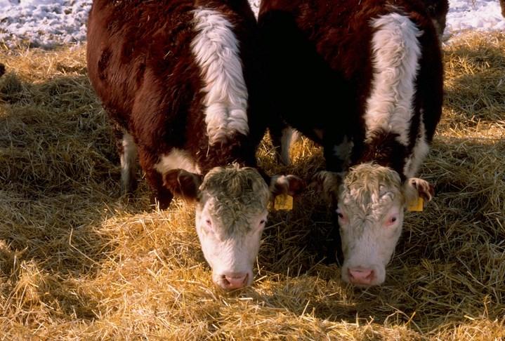 steers eating feedlot