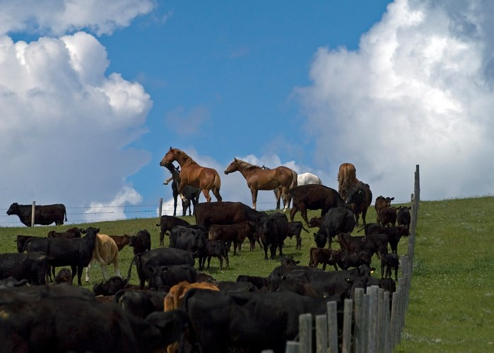 horses and cattle