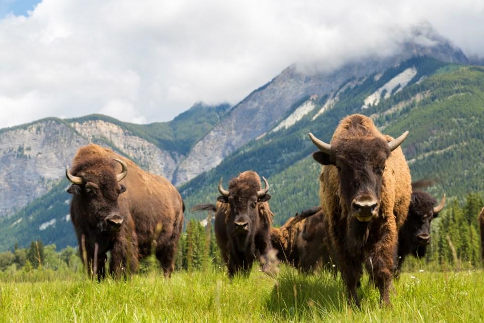 Bison on the prairies