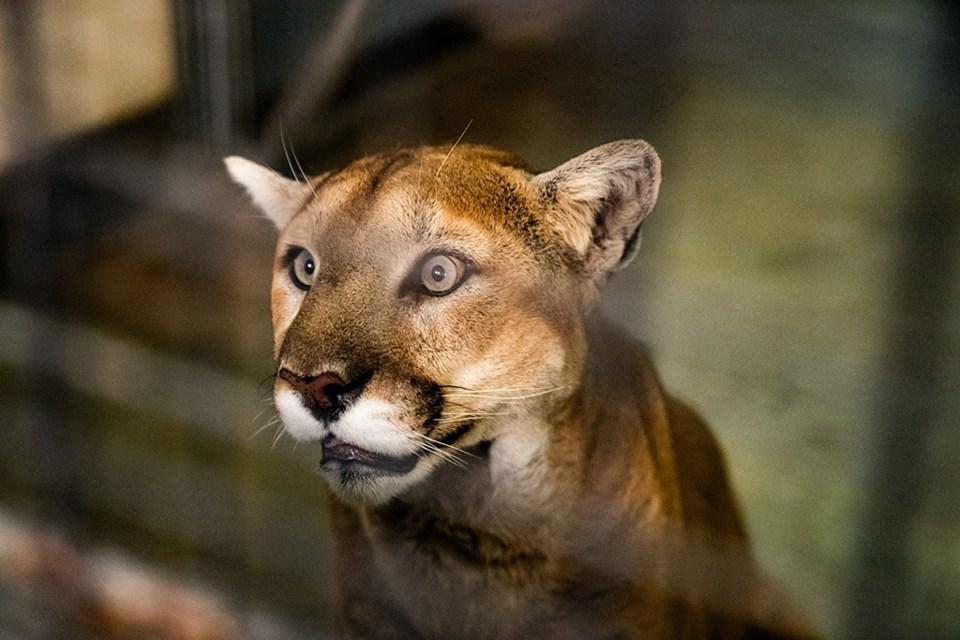Malcom The Cougar saskatoon zoo