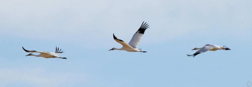 Whooping Cranes (Kim Mann)