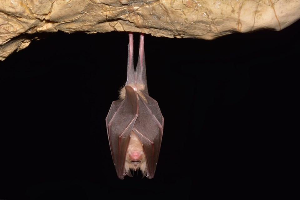 bat hanging AdobeStock