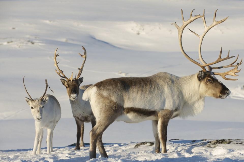 Caribou AdobeStock