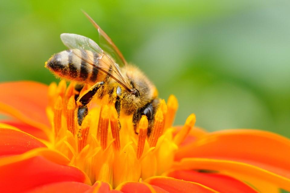 honeybee AdobeStock