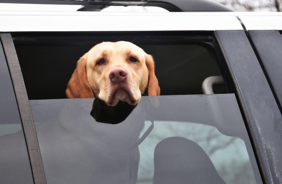 sad car dog AdobeStock_141908091