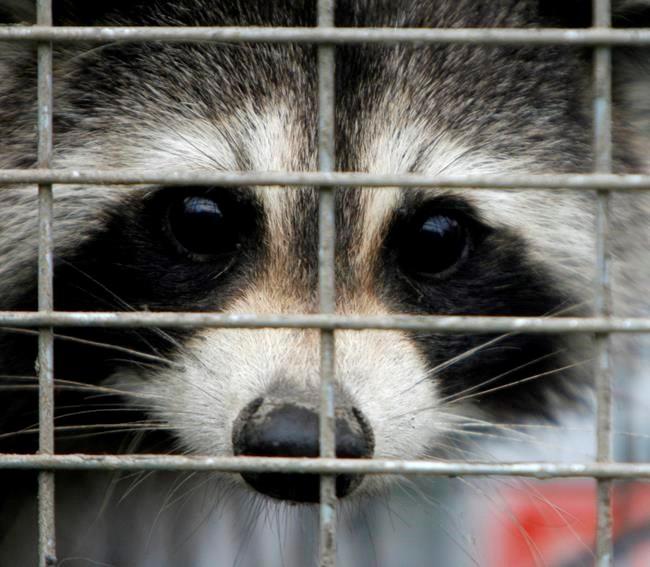 Fifth raccoon rabies case confirmed in Ontario