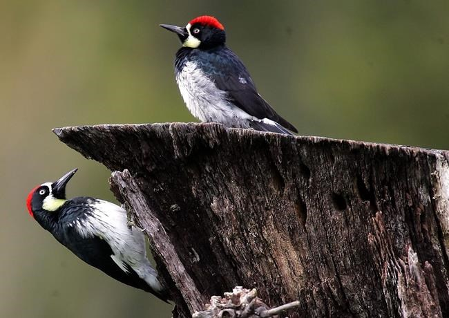 CANADA: Extensive new study finds three-billion-bird decline
