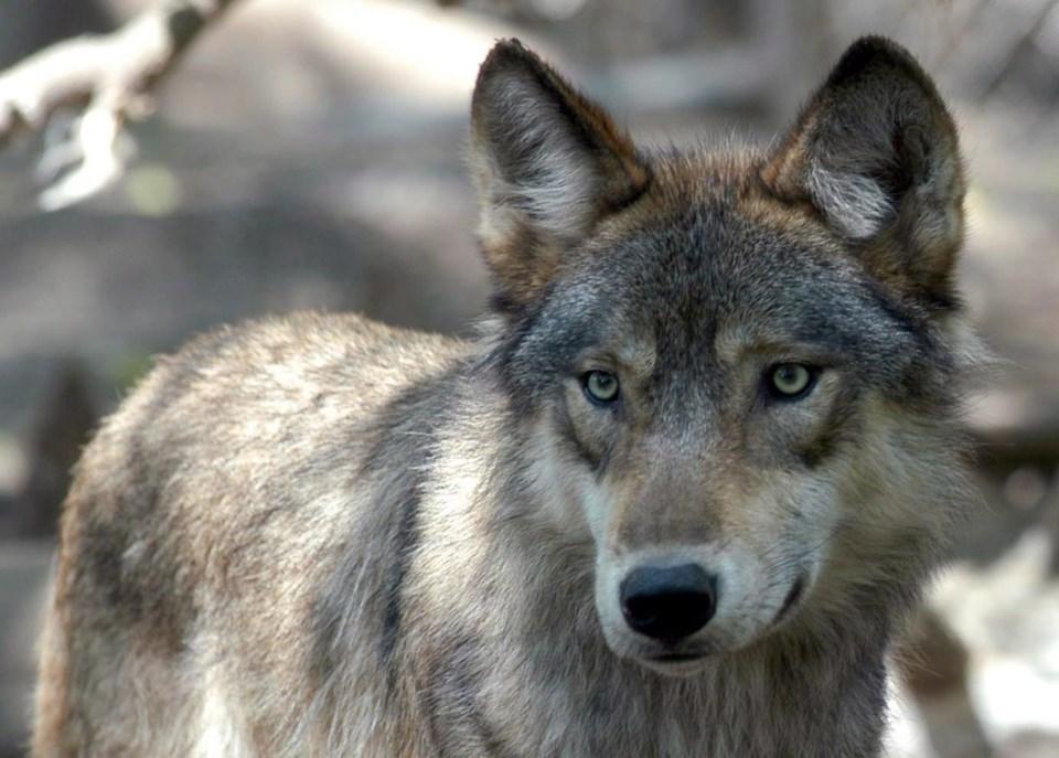 wolf-e1552263332486