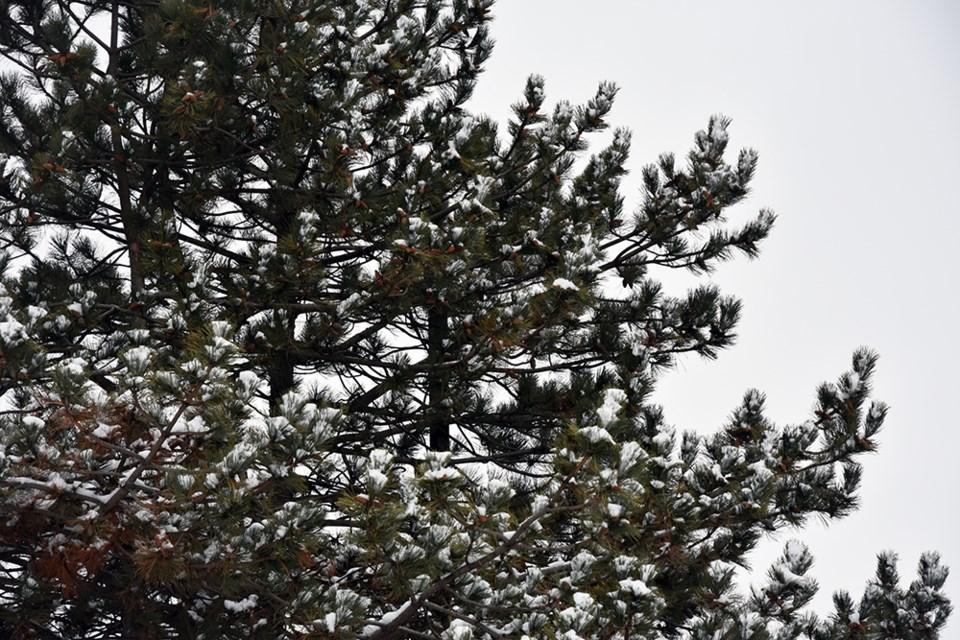 USED 2019-01-04-winter pine tree