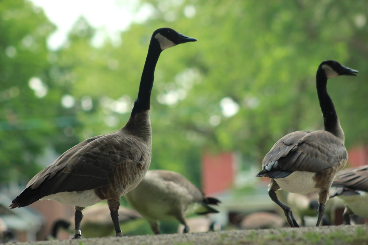 It's nesting season for Canada geese, so leave them alone